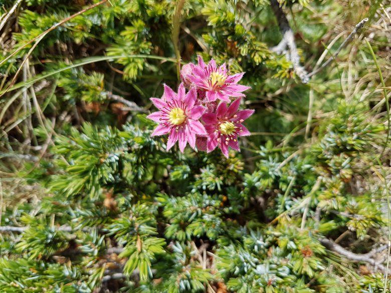 Flor Siempreviva encontrada a 2.000 mts de altura
